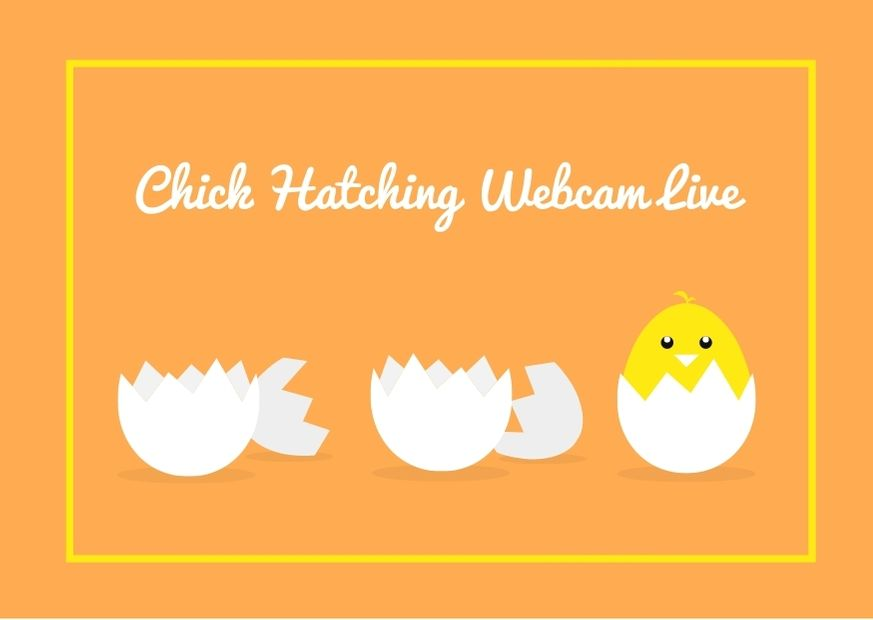 Baby Chick Hatching Webcam